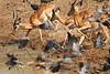 Impala_Mwamba_Zambia0010