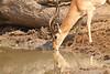 Impala_Mwamba_Zambia0024