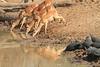 Impala_Mwamba_Zambia0005