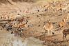 Impala_Mwamba_Zambia0017