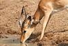 Impala_Mwamba_Zambia0026