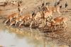 Impala_Mwamba_Zambia0015