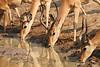 Impala_Mwamba_Zambia0014