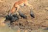 Impala_Mwamba_Zambia0007
