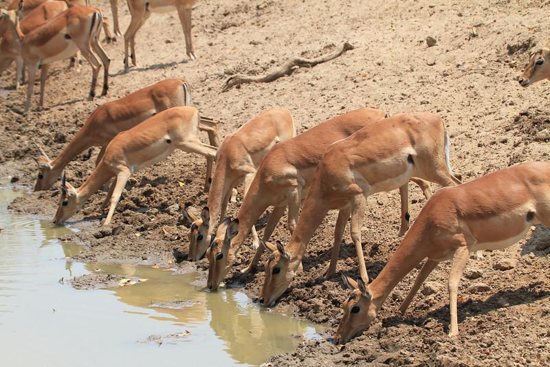 Impala_Females_Mwamba_Zambia0001