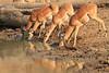 Impala_Mwamba_Zambia0003