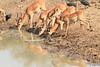 Impala_Mwamba_Zambia0006