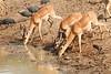 Impala_Mwamba_Zambia0009