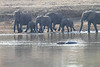 Elephants_at_River_Kaingo_Zambia0029