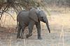 Elephant_Young_Kaingo_Zambia0002