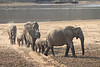 Elephants_at_River_Kaingo_Zambia0002