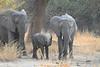 Elephant_Young_Kaingo_Zambia0001