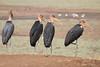 Marabou_Storks_Kaingo_Zambia0001