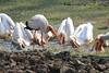 White_Pelicans_Kaingo_Zambia0008