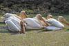 White_Pelicans_Kaingo_Zambia0006