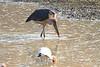 Marabou_Stork_Kaingo_Zambia0011