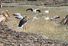 Yellow-Billed_Stork_Kaingo_Zambia0002