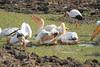 White_Pelicans_Kaingo_Zambia0004