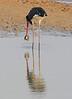 Saddle_billed_Stork_Kaingo_Zambia0001