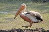 White_Pelicans_Kaingo_Zambia0003