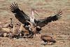 Marabou_Stork_Kaingo_Zambia0002