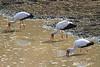 Yellow-Billed_Stork_Kaingo_Zambia0001