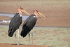 Marabou_Storks_Kaingo_Zambia0002