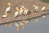 White_Pelicans_Kaingo_Zambia0002
