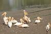 White_Pelicans_Kaingo_Zambia0001