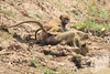 Yellow_Baboon_With_Baby_Kaingo_Zambia0006