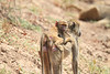 Yellow_Baboon_With_Baby_Kaingo_Zambia0011