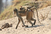 Yellow_Baboon_With_Baby_Kaingo_Zambia0007