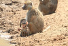 Yellow_Baboon_With_Baby_Kaingo_Zambia0021