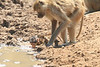 Yellow_Baboon_With_Baby_Kaingo_Zambia0013