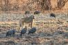 Yellow_Baboon_Kaingo_Zambia0006
