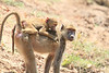 Yellow_Baboon_With_Baby_Kaingo_Zambia0010