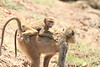 Yellow_Baboon_With_Baby_Kaingo_Zambia0009