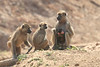 Yellow_Baboon_With_Baby_Kaingo_Zambia0002
