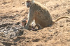 Yellow_Baboon_With_Baby_Kaingo_Zambia0003