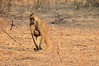Yellow_Baboon_With_Baby_Kaingo_Zambia0001