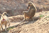 Yellow_Baboon_With_Baby_Kaingo_Zambia0005
