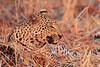 Leopard_Kaingo_Zambia0029