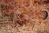 Leopard_Kaingo_Zambia0018