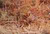 Leopard_Kaingo_Zambia0015