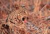 Leopard_Kaingo_Zambia0026