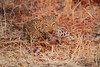 Leopard_Kaingo_Zambia0012