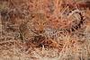 Leopard_Kaingo_Zambia0008