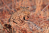 Leopard_Kaingo_Zambia0027