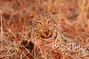 Leopard_Kaingo_Zambia0025