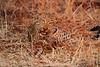 Leopard_Kaingo_Zambia0017